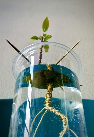 Avocado Plantation: Planting Pinkerton Avocado in a cup of water. Apex Avocado Close-up Cup Of Water Day Dramatic Angles Freshness Green Growing Up Growth Indoors  Leaf Nature No People Plant Plant Life Planting Sapling Seeding Stem, Seed And Root Water