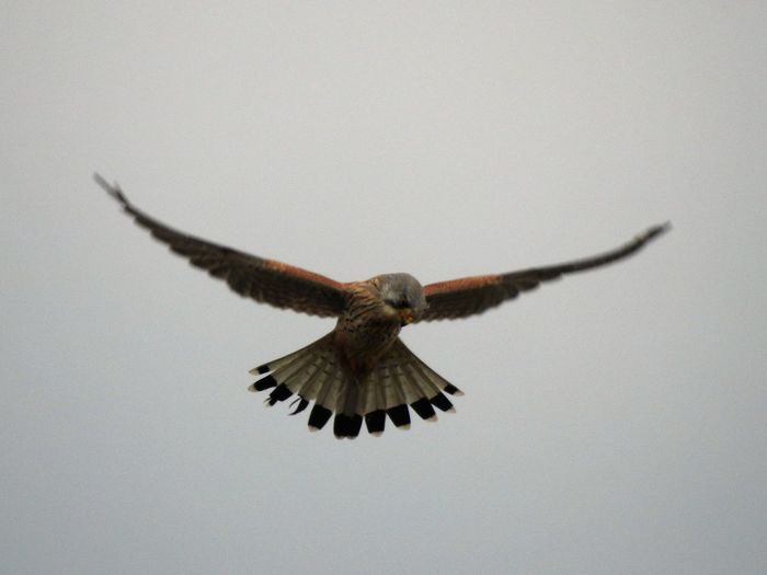 full hover Animal Themes Animals In The Wild Balance Bird Clear Sky Falcon Flying Focus On Foreground Full Hover Hawk Hover Imagination Kestrel Low Angle View Mid-air Nature Negative Space One Animal Spread Wings Wildlife