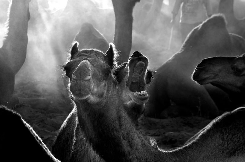 Camels Animal Body Part Animal Head  Animal Themes Close-up Day Domestic Animals Mammal Mouth Open Nature No People One Animal Outdoors Sky