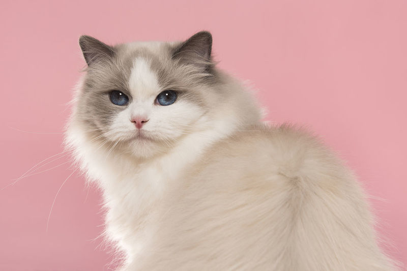 Close-up portrait of white cat against gray background