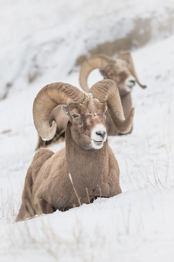 Winter conditions were still holding on in the Rockies when I took this shot of a couple of Rams who were no doubt dreaming of warmer conditions and spring pasture. The horns of bighorn sheep (ovis canadensis) rams can weigh up to 14 kg (30 lb), while the sheep themselves weigh up to 140 kg (300 lb). Jasper National Park, Alberta, Canada Love Life, Love Photography Alberta, Canada Bighorn Sheep Frozen Nature Ovis Canadensis Wild Animal Animal Animal Themes Animal Wildlife Animals In The Wild Canada Cold Cold Temperature Herbivorous Horned Jasper National Park Mammal Nature No People Rams Horn Snow Vertebrate Wild Sheep Winter Winter Conditions