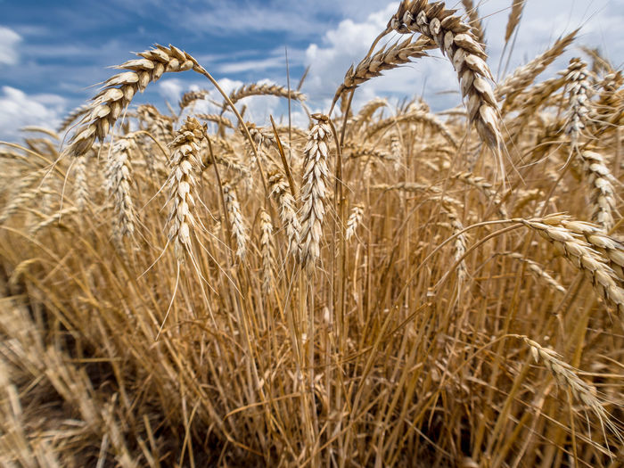 Russia, Krasnodar region, agriculture, wheat, harvesting wheat, Agriculture Beauty In Nature Botany Composition Crop  Day Dry Farm Field Grass Grassy Growing Growth Hay Landscape Nature Outdoors Perspective Plant Rural Scene Springtime
