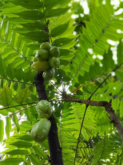 Green Color Nature Growth Leaf Freshness Close-up Fruit Low Angle View Tree Branch Outdoors Tropical Fruit Bilimbi Leaves