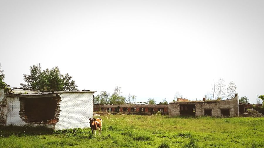 Cow's Routine - Lithuanian Countryside farm's Ruins. Village Life Today