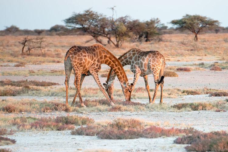 Giraffe in a forest