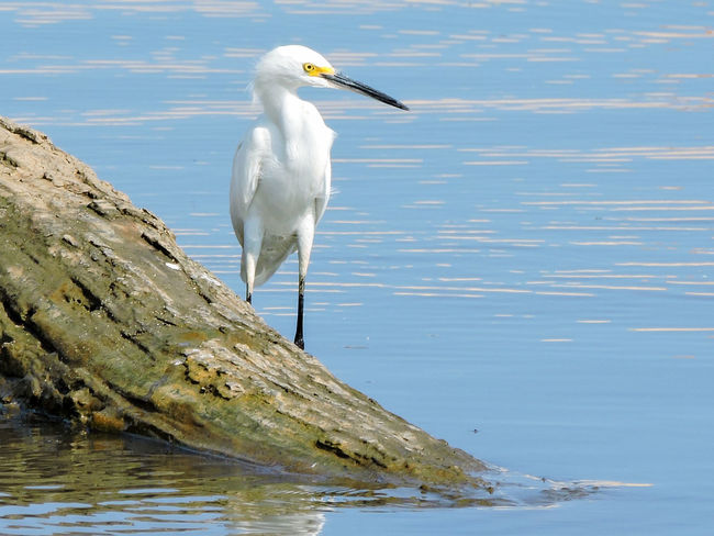 Animal Beauty In Nature Bird Blue Egret Magazhu Nature No People Ocean Outdoors Rippled Rocks Showcase July Tranquil Scene Tranquility Tropical Tropical Birds Water White White Color Yelapa