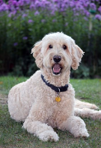Portrait of goldendoodle sitting on grassy field at park