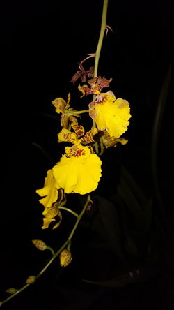 Yellow flower for the night(samsung s6 shot) Flower Freshness Yellow Close-up Fragility Growth Blossom Season  Petal In Bloom Flower Head Springtime Plant Nature Beauty In Nature Bunch Of Flowers Botany Black Background Vibrant Color Bloom