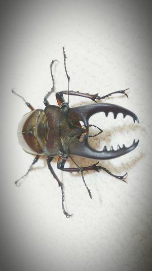Insect Bug Stagbeetle Taking Photos TheWeekOnEyeEM Nature Eyeemphotography Approach クワガタ 虫 Japan