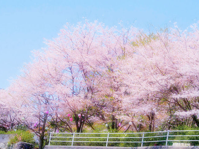 クレパスでお絵描きしたみたいな景色に出会えた散歩道🌸 イマソラ 桜🌸 さんぽ道 EyeEm Nature Lover Flower Collection Cherry Blossom Taking Photos Springtime Sky Collection Nature EyeEm Gallery Eyemphotography EyeEm Best Shots My Point Of View EyeEm Best Shots - Nature