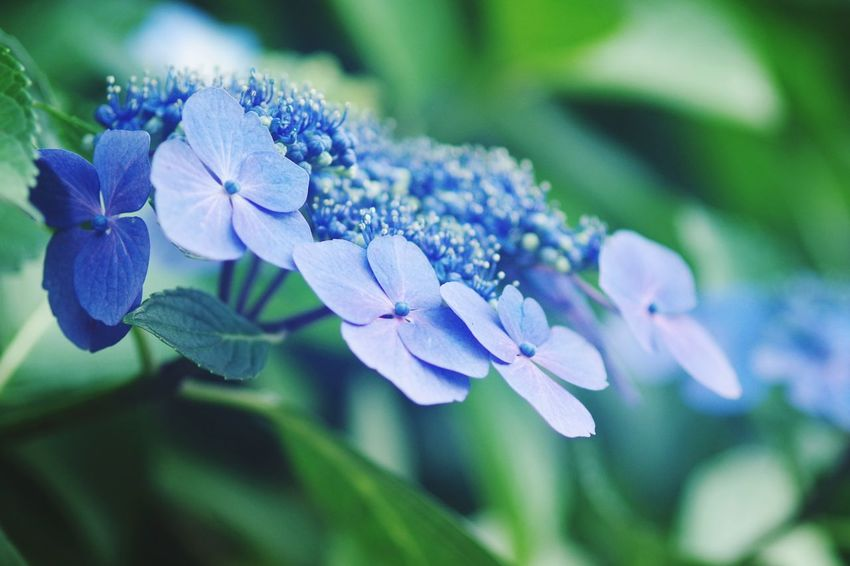 Japan Kamakura Flower Head Flower Blue Purple Petal Insect Close-up Animal Themes Plant Green Color