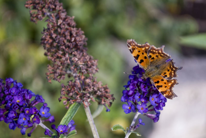 Animal Themes Animals In The Wild Beauty In Nature Butterfly - Insect Close-up Day Flower Flower Head Focus On Foreground Fragility Freshness Growth Insect Nature No People One Animal Outdoors Plant Pollination Purple
