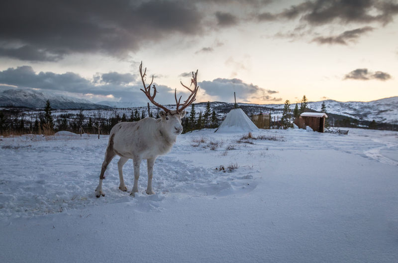 Reindeer on snow covered field against cloudy sky