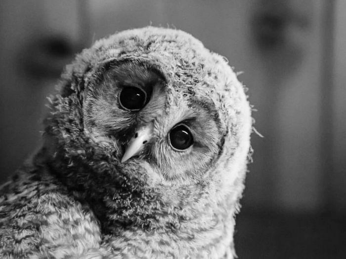 Close-up portrait of a owl