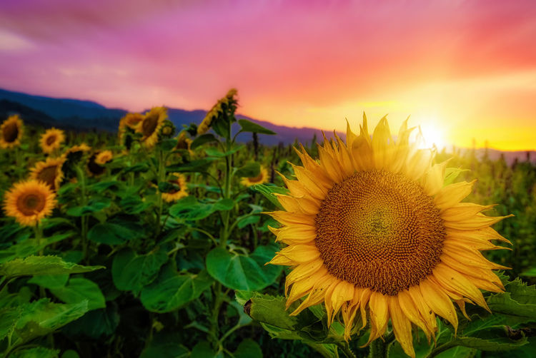 Close-up of sunflower on field against sky at sunset