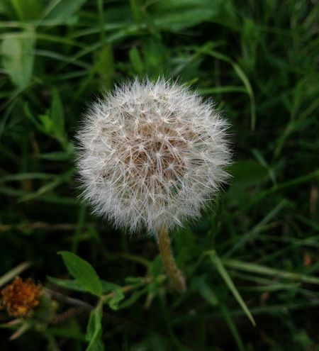 Plant Nature Dandelion Fragility Beauty In Nature Growth Softness BeautyHungary Close-up No People Day Flower Head Dandelion Seed