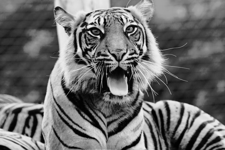 Sumatran Tiger Yawning in black and white Animal Themes Animal Wildlife Animals In The Wild Big Cat Black & White Feline Feline Photography, London Zoo Looking At Camera Mammal Monochrome Photography Nature No People One Animal Outdoors Portrait Powerful Nature Striped Sumatran Tiger Tiger Tiger Face Whisker Yawning Yawning Cat ZSL London Zoo