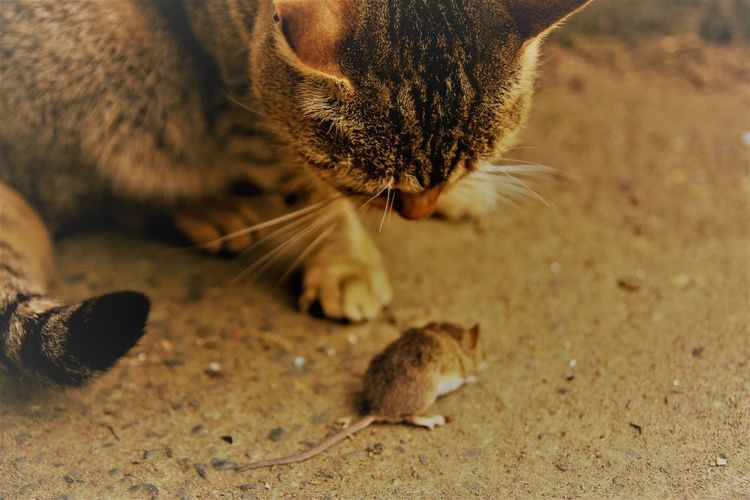 Close-up of cat and mouse