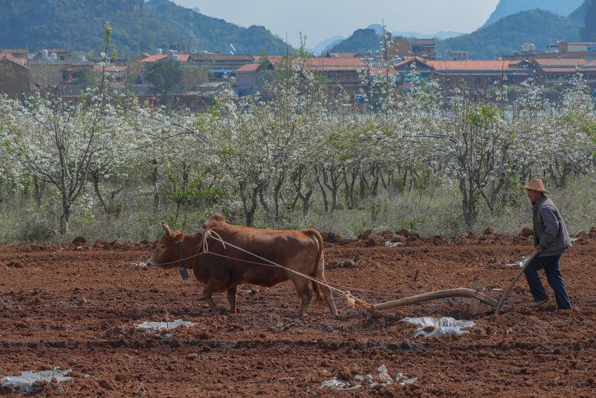 Farming Puzhehei Yunnan ,China Outdoors Cows Farmer Village Life Ziseetheworld Ziwang Blossoms