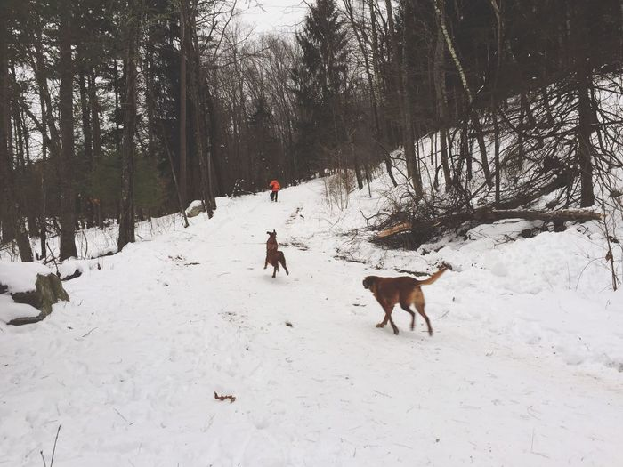 Hiking With Dogs Walking With Dogs Dog Pack Hound Dog Snow Shoeing Winter Dog Running Running Dog Pets Animals Dogs Hound Outdoors White Album Redbone Coonhound Snow Forest Cold Hiking Walking Nature White Happy Dog Dog Landscapes With WhiteWall