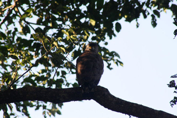 Kaziranga National Park Animal Themes Animal Wildlife Animals In The Wild Bird Bird Photography Branch Day EyeEmNewHere Full Length Low Angle View Nature Nature Photography No People One Animal Outdoors Owl Perching Rakeshtiwari Tree Wildlife Wildlife & Nature Wildlife Photography