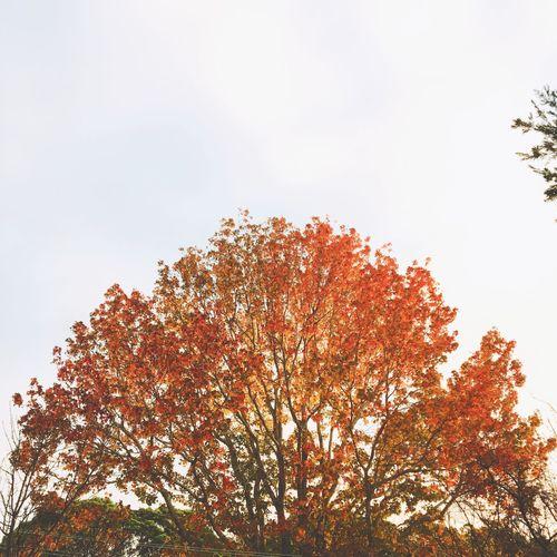 枫叶 Winter Plant Tree Sky Growth Beauty In Nature Low Angle View Nature
