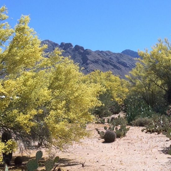 Palo Verdes in bloom, mountains in background, yellow Palo Verdes, blue sky, barrel cactus