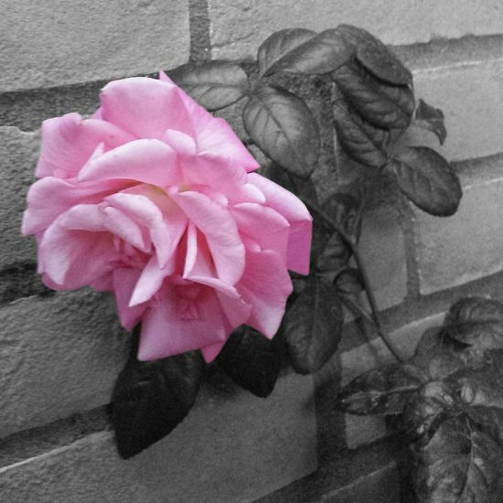 Rose🌹 Flower Flower Collection Photoart Art Nature Photography EyeEm Nature Lover Floral Flowerlovers Eye4photography