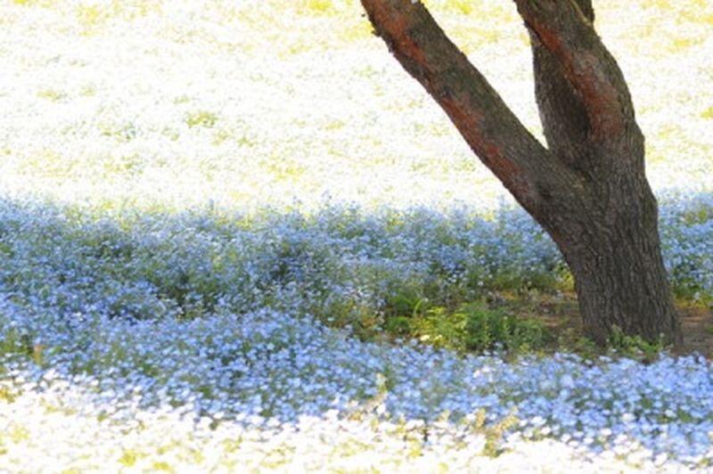 青の木陰 Tree Flower Blue BabyBlueEyes