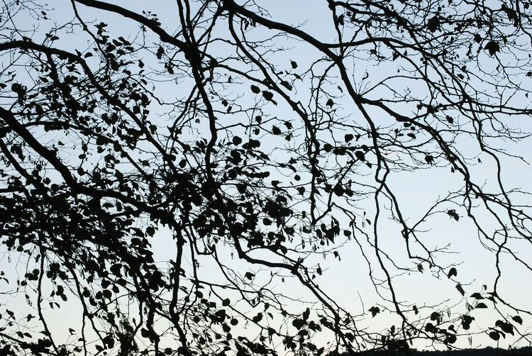 Tree Low Angle View Nature Growth Sky Branch Beauty In Nature Silhouette Silhoutte Photography Siluetphoto Naturephotography Amazing Nature Nature_perfection Naturelovers Eyem Gallery Descobreixcatalunya SPAIN