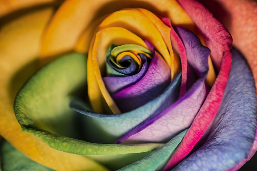 EyeEm Nature Lover EyeEm Best Shots Eye4photography  Single Flower Petals Flora Backgrounds Beauty In Nature Close-up Flower Flower Head Fragility Freshness Growth Multi Colored Nature No People Petal Rose - Flower
