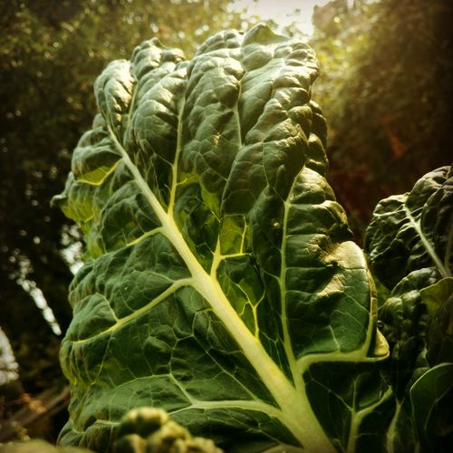 Chard Nature Plant Outdoors Agriculture Leaf Beauty In Nature Freshness Green Veins In Leaves Garden Garden Photography Grow Your Own Food