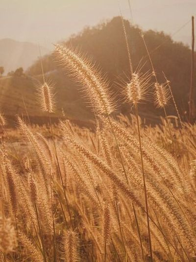 Growth Nature Wheat Beauty In Nature Beauty In Nature Thailand_allshots Nature Makes Me Smile
