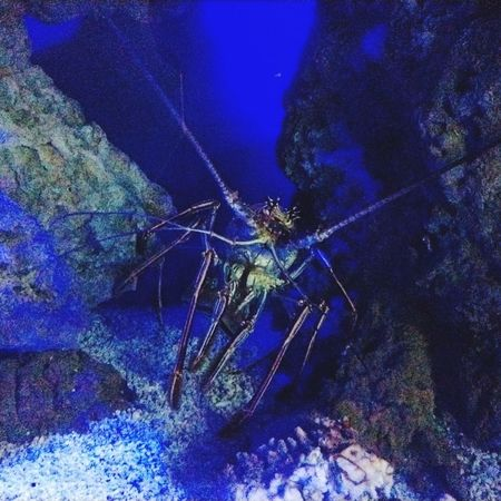 Lobster Lobsters UnderSea Blue Spider Insect Close-up
