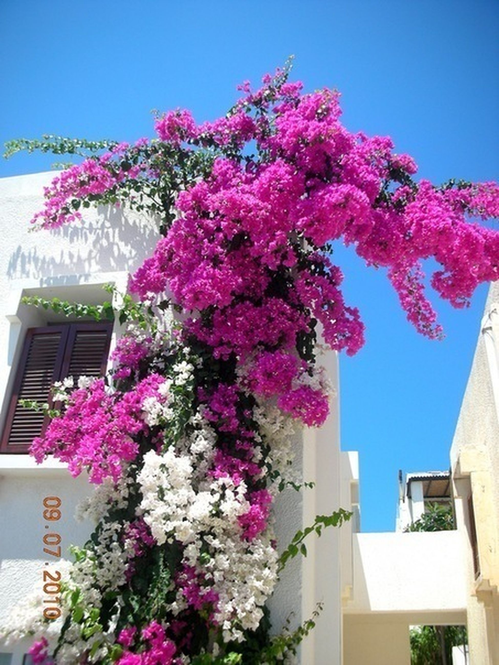 flower, building exterior, architecture, built structure, clear sky, low angle view, freshness, growth, fragility, pink color, blue, blossom, building, tree, nature, branch, blooming, window, day, plant