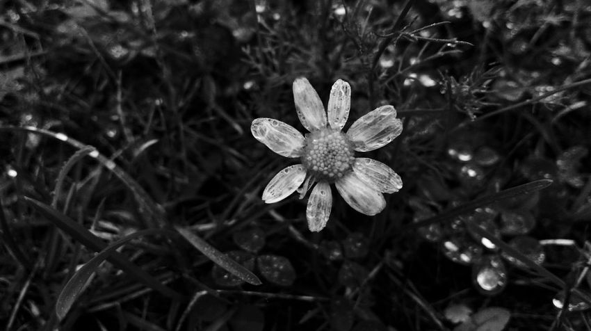 Translucent wings. Schwarzweiß Flower Head Blossoms  Waterdrops Simple Beauty Minimalistic Pure Nature Fragile Beauty Small Things Smartphonephotography Blackandwhite Starshape Outdoors Nature Plant No People Flower