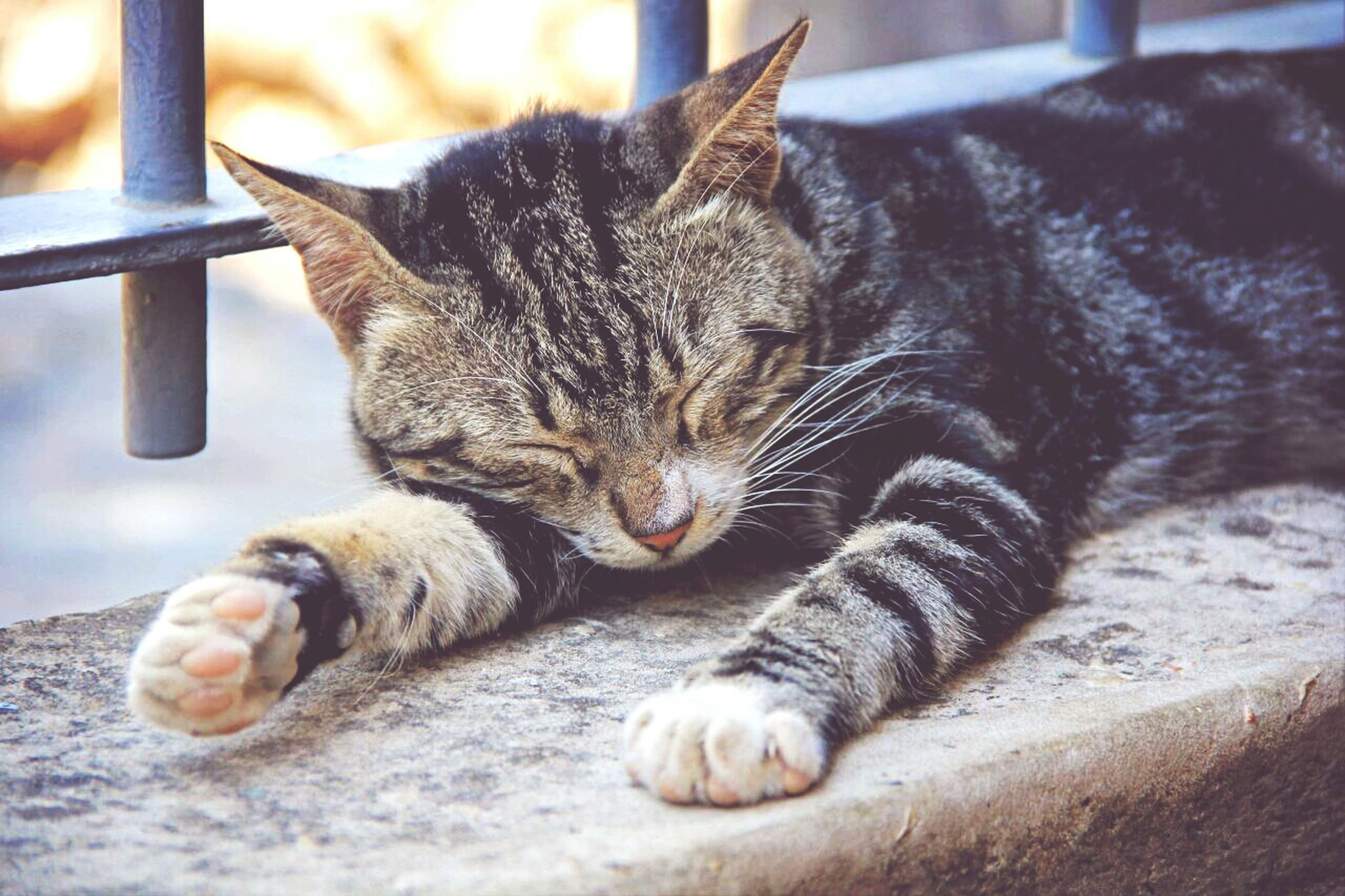 animal themes, domestic cat, one animal, cat, mammal, feline, domestic animals, pets, whisker, relaxation, resting, lying down, indoors, close-up, sleeping, tabby, focus on foreground, eyes closed, zoology, relaxing