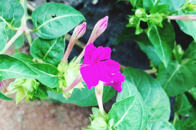 Flower Fragility Freshness Nature Leaf Growth Beauty In Nature Plant Petal Flower Head Blooming Close-up Green Color Outdoors Day Periwinkle