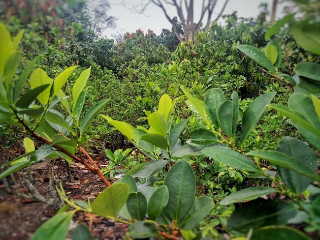 Coca and cocoa Nature Green Color No People Plant Outdoors Beauty In Nature Coca Cocoa Jungle