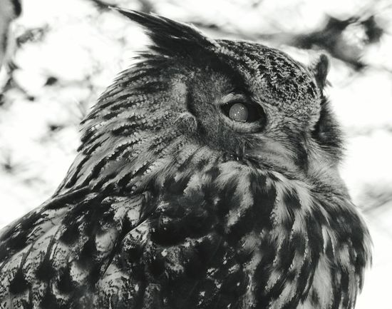 Uhu Eagle Owl  Beauty In Nature Birdwatching Bird Watching Birds Of EyeEm  EyeEmBirds Animal Head  Wildlife & Nature EyeEm Nature Collection Close-up Capture The Moment Close Up