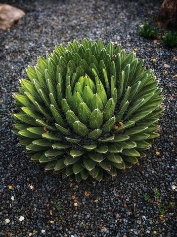An interesting plant I had to photograph. No clue what it is though Growth Green Color Plant Succulent Plant Nature High Angle View Cactus Spiked Field Close-up Freshness No People Tranquility Natural Pattern Beauty In Nature Outdoors Day Sharp Land Leaf