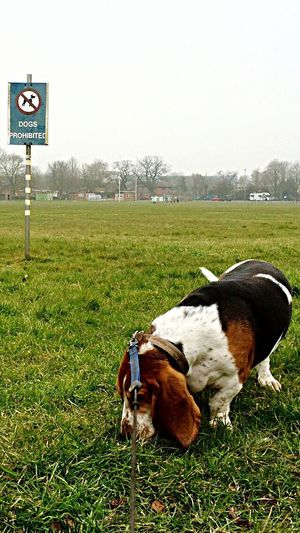 "Whatever, ""so sue me!!"" Flouting The Rules Breaking The Rules Whatever Hanging Out Hello World Cheese! Enjoying Life Taking Photos My Point Of View Basset Hound Bassethound Dog DogLove my best pal Mr Boo Walking Around"