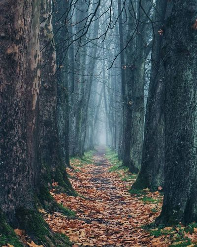 Avenue Autumn Forest Leaf Change Nature Tree Outdoors Beauty In Nature Fog Pathway Fallen Leaves Fall Foliage