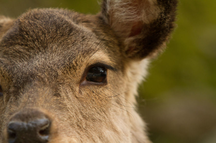 Animal Animal Body Part Animal Eye Animal Hair Animal Head  Animal Themes Brown Close-up Deer Mammal Nature Portrait Sikadeer Snout