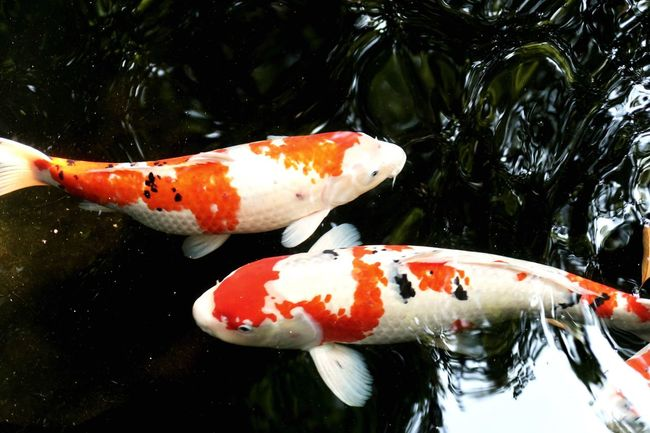 Pond Fish Corp Red White Japan 鯉 Water