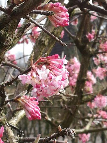 Virburnum tinus Flower Outdoors No People Tree Schneeball strauch blüte2017 Springtime Focus On Foreground Nature