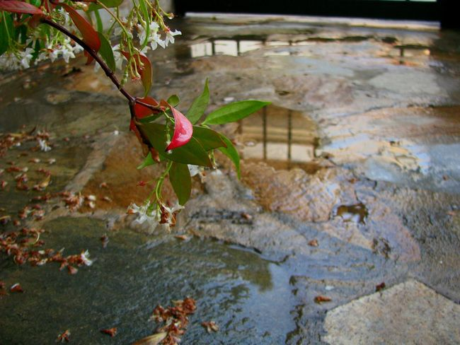 after the rain Reflection Water Reflections Rain After The Rain Flower Flower Head Red Flower Garden Garden Photography Nature Green Leaves Nature_collection Water Tree Leaf Autumn