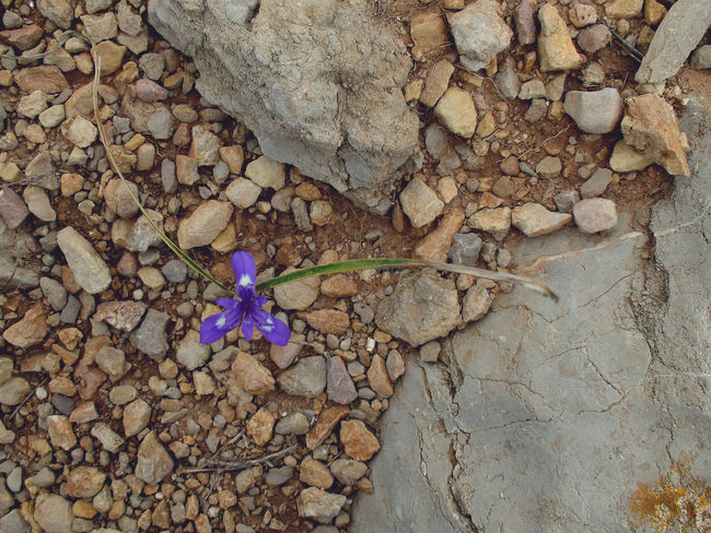 Violet / Purple Flower in Alghero, Italy Beauty In Nature Close-up Flowerpower Flowerpower🌸 High Angle View Nature Purpleflower Redstone Sardegna Sardinien Violet Violet Flowers Resist