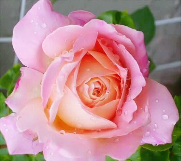 Rose,pink,bug,water drops, Flower Rose - Flower Pink Color Petal Nature Plant Drop Flower Head Beauty In Nature Water Fragility Peony  No People Close-up Growth Freshness Rose Petals Outdoors Day