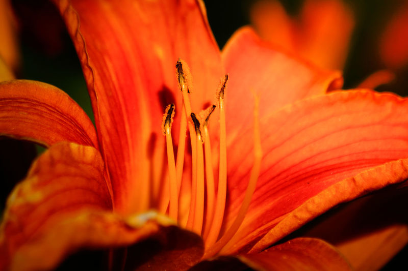 Close-up of lily growing outdoors
